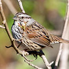 Song Sparrow, Burleigh Murray Ranch State Park, 8-Mar-2014
