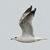 Mew Gull (2nd cycle)