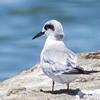 Forster's Tern (1st Year Bird), Radio Road, San Mateo County, 6-July-2013