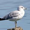 Ring-billed Gull, Radio Road, San Mateo County, 6-July-2013