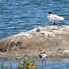 Caspian Tern, Elegant Tern, and 2 Forster's Terns, Radio Road, San Mateo County, 6-July-2013