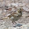 Savannah Sparrow, Radio Road, San Mateo County, 6-July-2013