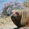 Harbor Seal, Radio Road, San Mateo County, 6-July-2013