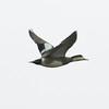 """Storm"" American Wigeon in Flight"
