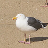 Banded Western Gull