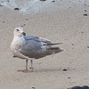 """Olympic Gull"" - Glaucous-winged x Western Gull"