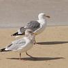 Herring Gull with Western Gull
