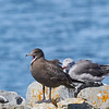 Heermann's Gull (juvenile)