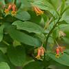Twinberry Honeysuckle