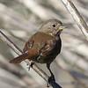 Fox Sparrow, Cascade Ranch, San Mateo County, 2-9-2013