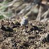 """""""White-striped"""" White-throated Sparrow, Cascade Ranch, San Mateo County, 2-9-2013"""