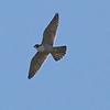 Peregrine Falcon, Cascade Ranch, San Mateo County, 2-9-2013