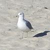 California Gull, Venice Beach, San Mateo County, 7-Sept-2013