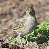 Golden-crowned Sparrow, Cascade Ranch, San Mateo County, 2-9-2013