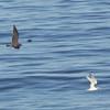 Heerman's Gull Chasing an Elegant Tern, Venice Beach, San Mateo County, 7-Sept-2013