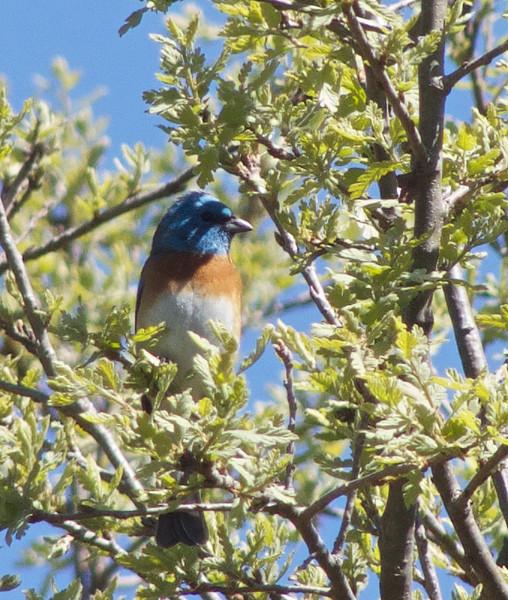 Lazuli Bunting, Arastradero Preserve, Santa Clara County, 16-April-2013