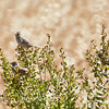 Three Grasshopper Sparrows in a Bush