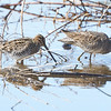 Wilson's Snipe with Long-billed Dowitcher