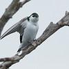 Violet-green Swallow at Sandy Wool Lake
