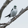Violet-green Swallow at Sandy Wool Lake