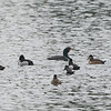 Ring-necked Ducks with a Double-crested Cormorant, on Sandy Wool Lake