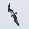 Osprey Spots a Fish