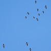 More Aleutian Cackling Geese Flying Overhead
