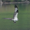 Osprey Flying Off with Fish
