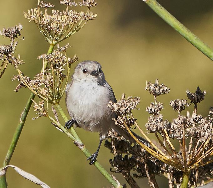 Bushtit (male)