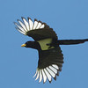 Yellow-billed Magpie in Flight, Jamieson Road, Santa Clara County, 5-April-2014