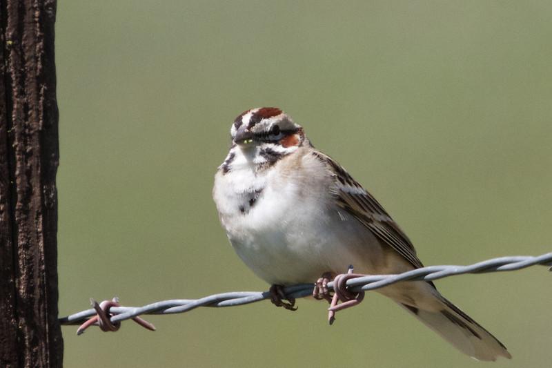 Lark Sparrow, Jamieson Road, Santa Clara County, 5-April-2014