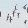 Bonaparte's Gulls  in Flight