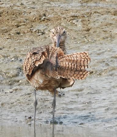 Long-billed Curlew Preening