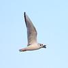 Bonaparte's Gull in Flight