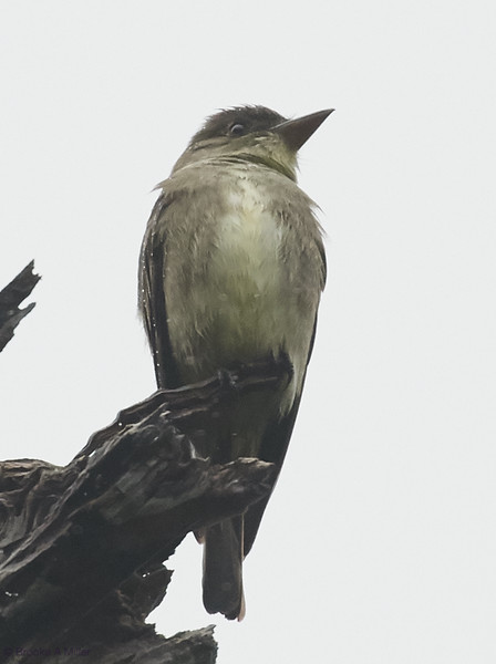 Olive-sided Flycatcher in the Rain