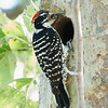 Nuttall's Woodpecker at Nest Hole