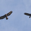 A Pair of Golden Eagles Soaring Together