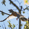 American Robin Flying from Creek with Muddy Nesting Material