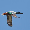 Northern Shoveler (male) in Flight