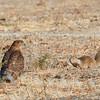 Juvenile Cooper's Hawk with Squirrel