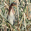 Green Heron with an attitude