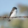 Juvenile Swallow
