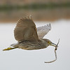 Juvenile Black-crowned Night-Heron Flying with Stick