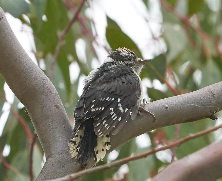 Downy Woodpecker (juvenile)