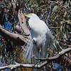 Great Egret Near Its Nest