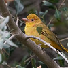 Summer Tanager - Juvenile Male