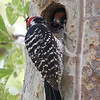 Male Nuttall's Woodpecker Parent Feeding Chick in Nest Hole