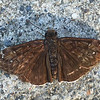 "Mournful Duskywing (Field guide says, ""scarce in California"")"