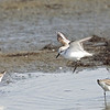 Sanderling, Bodega Bay, Sonoma County, 2-16-2013