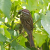 Song Sparrow, Diekmann's Store, Bodega Bay, Sonoma County, 2-16-2013